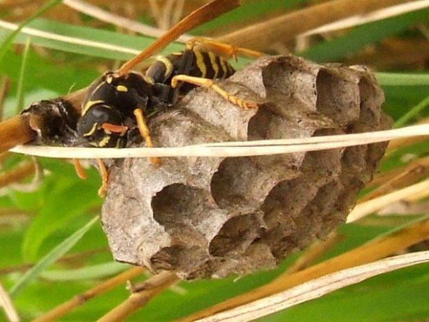 Pani na włościach ... Klecanka pospolita (Polistes gallicus) #owad #osa #gniazdo