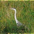 #ptaki #ptak #czapla #czaple #woda