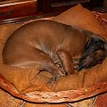 Oto jedna z uroczych pozycji śpących mojej Korci :) #kora #pies #PosokowiecBawarski #kojec #łóżko #spanie #spanko