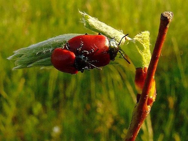 Rynnica topolowa (Chrysomela populi)