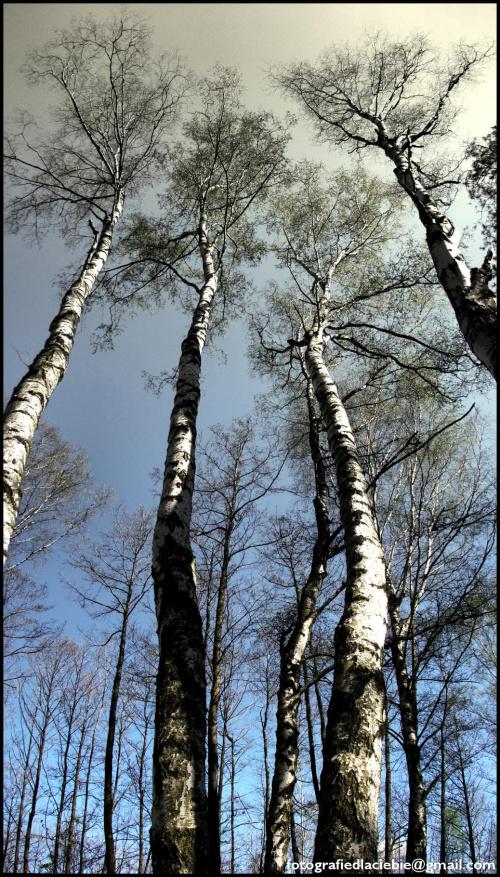 Olbrzymy #drzewa #las #wiosna #panorama #niebo