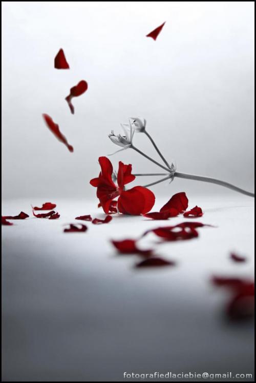 Przemijanie ... #kwiaty #kwiatek #płatki #czerwień #czas #abstrakcja #przemijanie