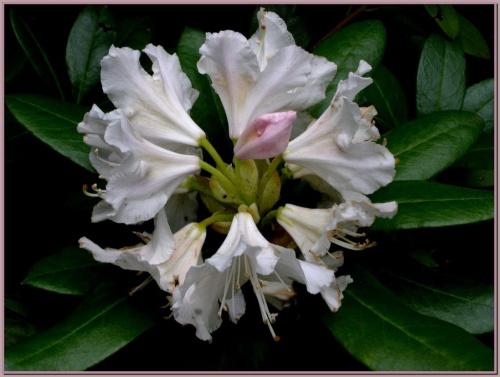 azalka #kwiaty #ogród #wiosna #natura #flora #przyroda