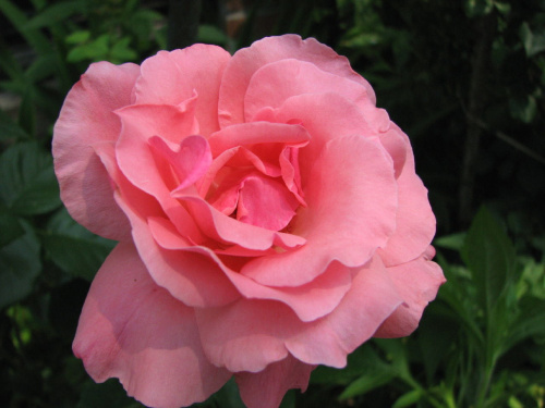 Roze,roze komu roze?
