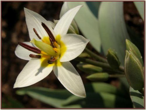 jakiś cebulaczek... #kwiaty #ogród #wiosna #natura #flora #przyroda