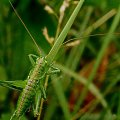 Siodlarka (Ephippigera ephippiger) #owady