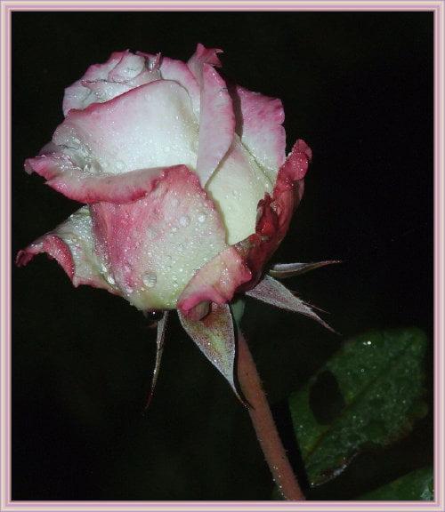 DLA STELKI 56 W DNIU URODZIN I IMIENIN - od maxmaks #kwiaty #prezent #róża #krople #makro
