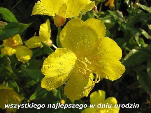 dla STELKA56 ... wszystkiego najlepszego !!! - od lwa1962 #kwiaty #prezent #wiesiołek #makro #krople #deszcz