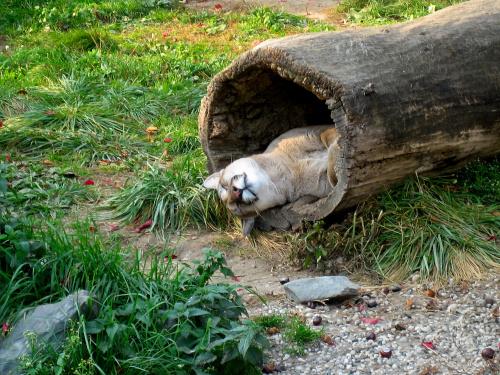 Dla gonzki na urodzinki - 100 LAT, 100 LAT ... #zwierzęta #puma #zoo #życzenia