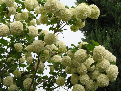 Dla wojdzireya na urodziny... wszystkiego najlepszego... #kwiaty #kalina #krzew #drzewo #ogród #wiosna #życzenia