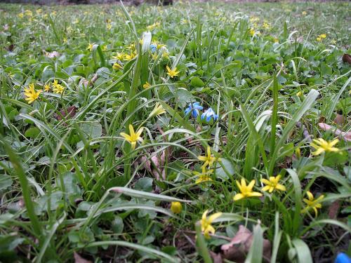 ... tak sobie rosną dziko ... #kwiaty #cebulowe #wiosna #park
