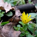 ... tak sobie rosną dziko ... #kaczeńce #kwiaty #liście #zieleń #wiosna #makro