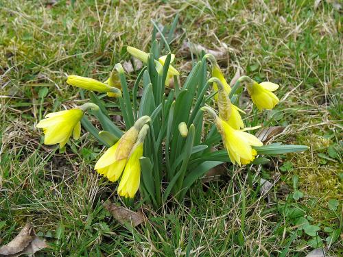 ... tak sobie rosną dziko ... #Chomiąża #kwiaty #narcyze #przyroda #wieś #łąka #sad #wiosna #żonkile