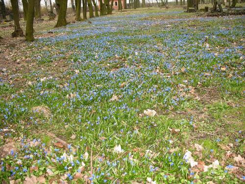 ... tak sobie rosną dziko ... **** ulub. inka47 **** #kwiaty #łąka #StaryCmentarz #śnieżnik #wiosna