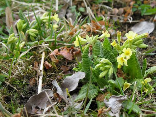 ... tak sobie rosną dziko ... #Chomiąża #kwiaty #łąka #pierwiosnki #sad #wieś #przyroda #wiosna