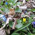 ... tak sobie rosną dziko ... #śnieżnik #kaczeńce #fiołki #liście #park #wiosna