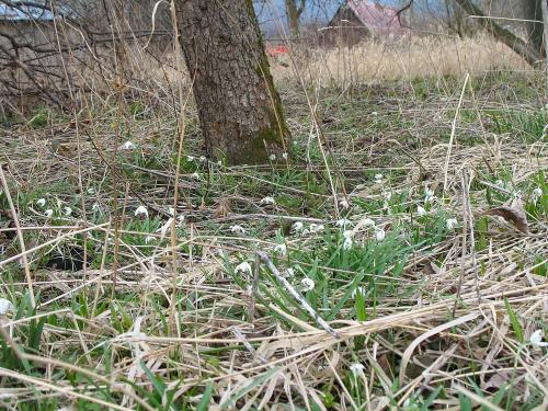 ... tak sobie rosną dziko ... #Chomiąża #kwiaty #łąka #śnieżyczki #wieś #wiosna #przyroda