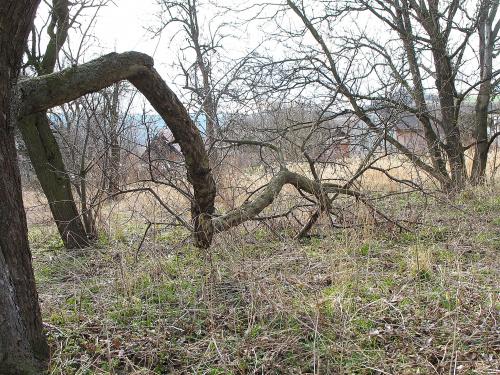... tak sobie rosną dziko ... #drzewa #wiosna #łąka #Chomiąża #natura #wieś #przyroda