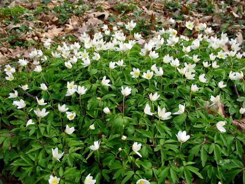 ... tak sobie dziko rosną ... **** ulub. inka47, jaguar88 **** #kwiaty #park #wiosna #ZawilecGajowy #Sławięcice