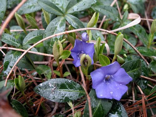 ... tak sobie dziko rosną ... #kwiaty #barwinek #liście #park