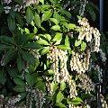 WIOSNA!!! #pelargonie #PierisJap #magnolie