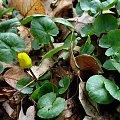 ... tak sobie dziko rosną ... #kaczeńce #kwiaty #liście #wiosna #ogród