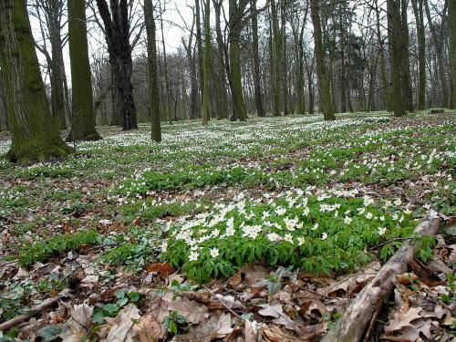 ... tak sobie dziko rosną ... #kwiaty #park #Sławięcice #wiosna #ZawilecGajowy