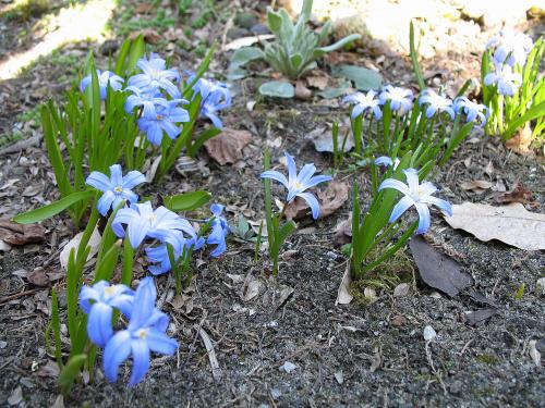 ... coraz ładniej na działce ... #śnieżnik #cebulowe #kwiaty #ogród #wiosna