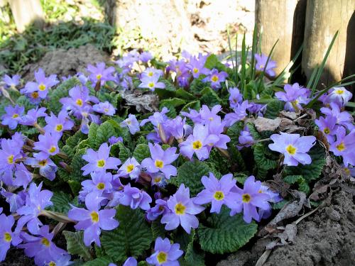 ... coraz ładniej na działce ... #pierwiosnki #kwiaty #ogród #wiosna