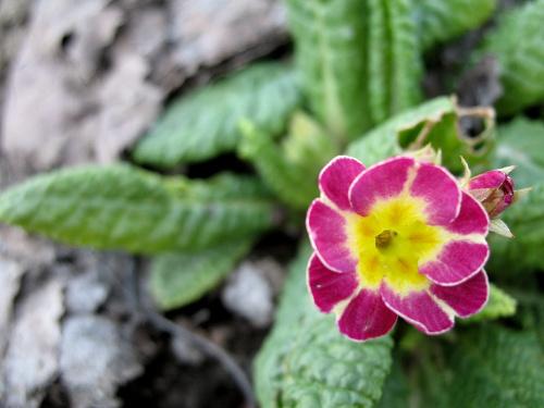 ... coraz ładniej na działce ... #kwiaty #ogród #pierwiosnki #wiosna