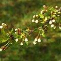 jeszcze w pączkach #wiśnia #kwiaty #rośliny #natura #przyroda