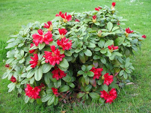 rododendron - miniaturka #rododendron #kwiaty #krzewy #ogród #wiosna