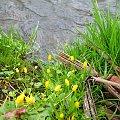 ...dziko... nad wodą ... #kaczeńce #woda #wiosna #kwiaty