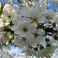 czereśnia, niewiem jaka odmiana ale owoce ma wielkie, ciemno czerwone z grubym miąższem, po prostu pychota; wystarczy dla wszystkich, jest bardzo plenna #drzewa #kwiaty #czereśnia #ogród #wiosna
