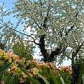 czereśnia, ta o której pisałam wcześniej; #drzewa #czereśnia #kwiaty #pierwiosnki #ogród
