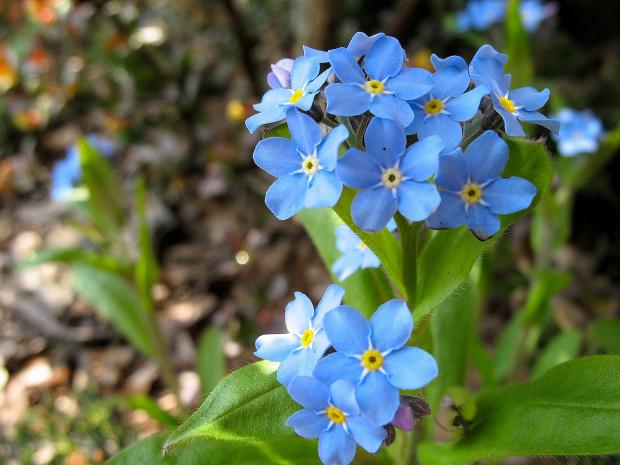 niezapominajki ... **** ulub. inka47 **** #kwiaty #niezapominajki #ogród #wiosna