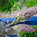 glicynia ... na razie pąki #glicynia #kwiaty #pąki #pnącze #wiosna #wisteria