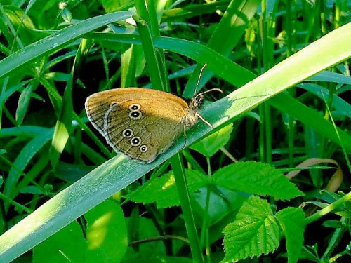 Aphantopus hyperantus - Przestrojnik Trawnik