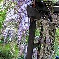 glicynia (wisteria) - w tej chwili duma ogródka #glicynia #wisteria #kwiaty #ogród #pnącze