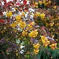 berberys #krzewy #kwiaty #ogród #berberys