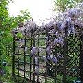 glicynia (wisteria) - w tej chwili duma ogródka #kwiaty #pnącza #ogród #glicynia #wisteria