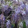 glicynia (wisteria) - w tej chwili duma ogródka #kwiaty #pnącza #glicynia #wisteria #ogród