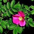 Wiosna majowa #magnolia #iglaki #irys