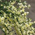Wiosna majowa-żarnowiec #magnolia #iglaki #irys