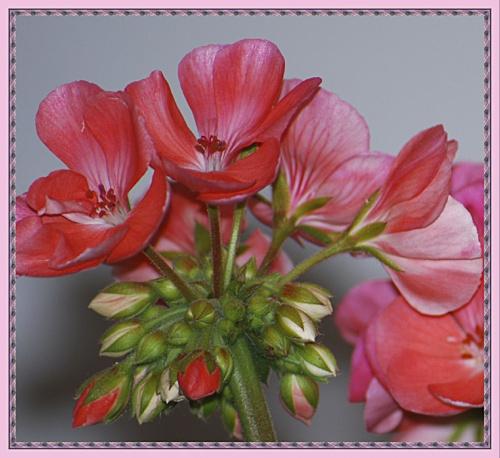 Pelargonia. #kwiaty #pelargonie #ogrodek