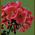 Pelargonia w moim ogrodku #kwiaty #pelargonie #ogrody