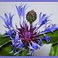 Chabry #KwiatyPolne #przyroda #natura