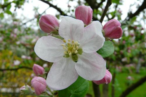 kwitnące jabłonie ... #działka