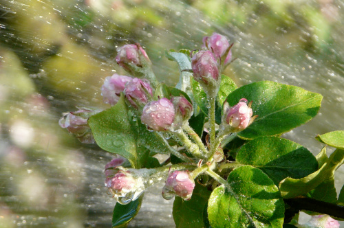 jabłoń pod prysznicem ... #działka