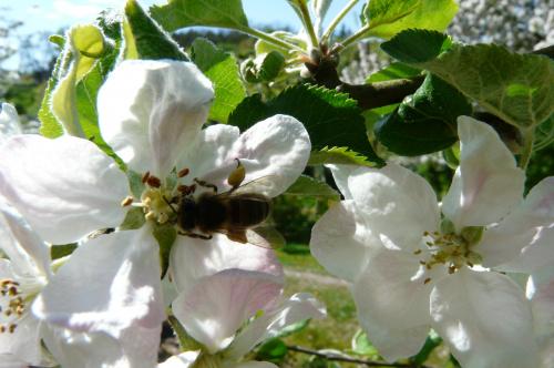 praca pszczółek ... #działka
